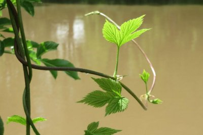 New Florida crop -- hops -- results from climate change