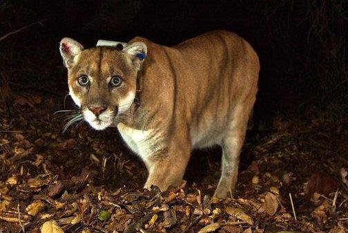 第二座山狮在洛杉矶的心脏发现