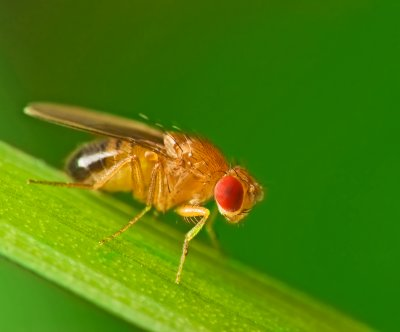 Neural circuit in fruit flies detects anti-aphrodisiac