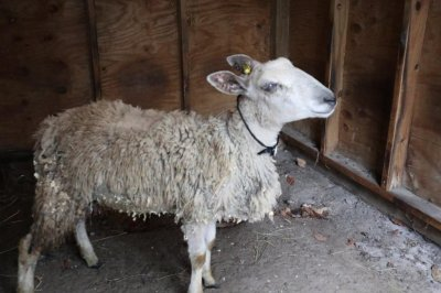Loose sheep with balloons tied to it captured in New Jersey