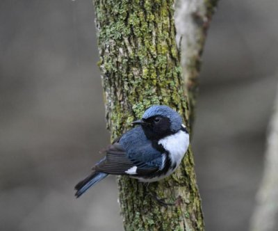 Songbird study reveals changes in fall migration