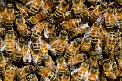450,000 bees removed from inside walls of Pennsylvania home