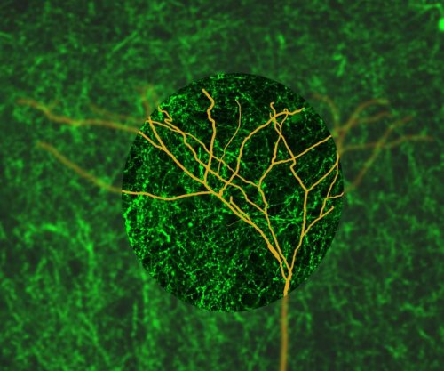 Study reveals how the brain helps humans focus
