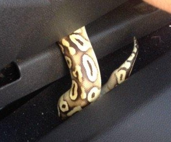 Police help women stopped on highway to catch escaped snake in car