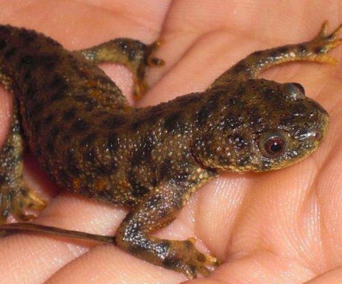 Salamander genome provides clues to the amphibian's regenerative abilities