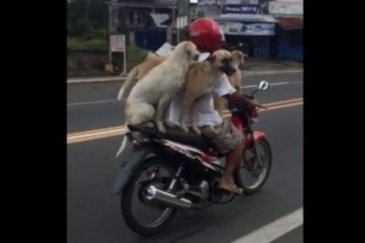 Three dogs ride motorcycle with owner on Philippines road
