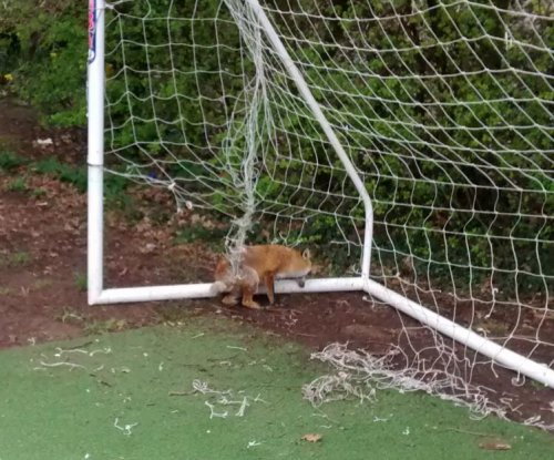 Fox rescued from soccer net in England