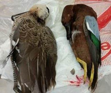 Border patrol discovers 3 dead ducks, llama fetus at Houston airport