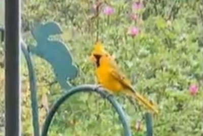 Rare yellow cardinal caught on camera in Alabama