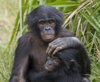 San Diego Zoo vaccinates bonobos, orangutans against COVID-19