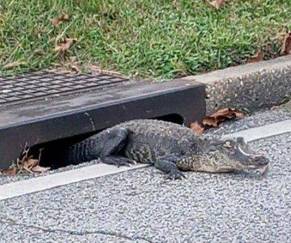Alligator found lurking in apartment complex storm drain in Alabama