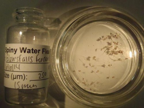 Spiny water flea likely coming to Lake Champlain