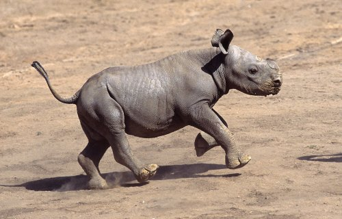 Rhino poaching continues at record pace in South Africa