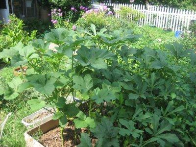 Police in Georgia mistake man's okra garden for marijuana