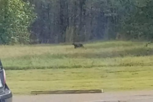 Mississippi man spots possible cougar across road from Wendy's