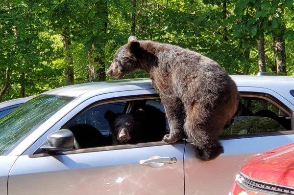 Watch Family Of Bears Climb Into Car Through Open Window