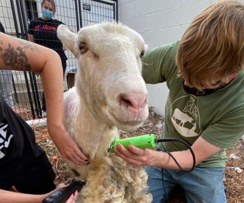 Rescue ranch adopts sheep spotted roaming streets