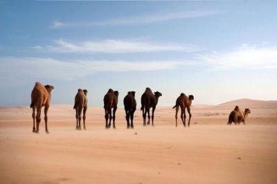Study tells genetic history of dromedary camel