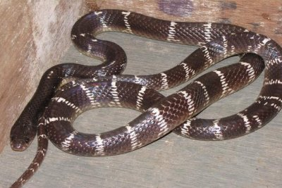 Venomous snake found in airport traveler's luggage