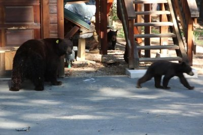 Musician plays violin to soothe bears trying to break into home