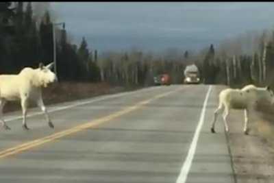 Two white moose spotted along Canadian highway