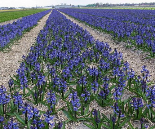 Russia bans importation of flowers from the Netherlands
