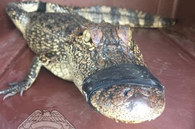 Louisiana driver finds alligator in the road, takes it home