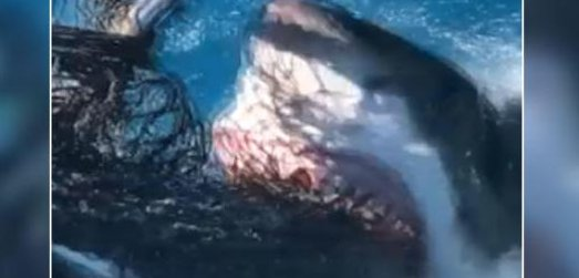 Watch: Great white shark approaches boat in Florida waters
