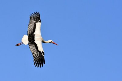 British zoo's escaped stork captured 100 miles away
