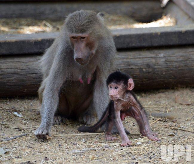 Baby Baboon At Ramat Gan Safari Park, Israel