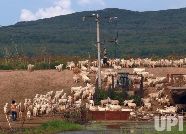 Ethnic minority herders tend their animals on the Songhua River in Fuyuan