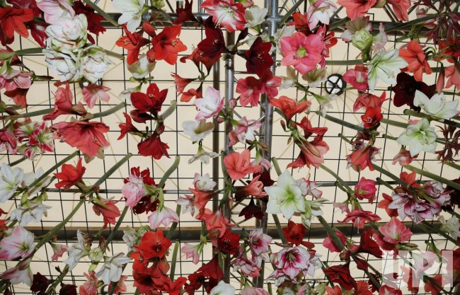 An Orchid display at Chelsea Flower Show 2013