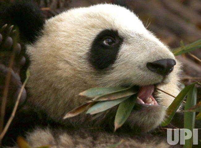 A panda eats bamboo leaves at a panda center in Chengdu, China