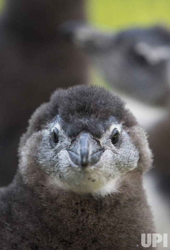 Baby African Penguins at Six Flags Discovery Kingdom in Valllejo, California