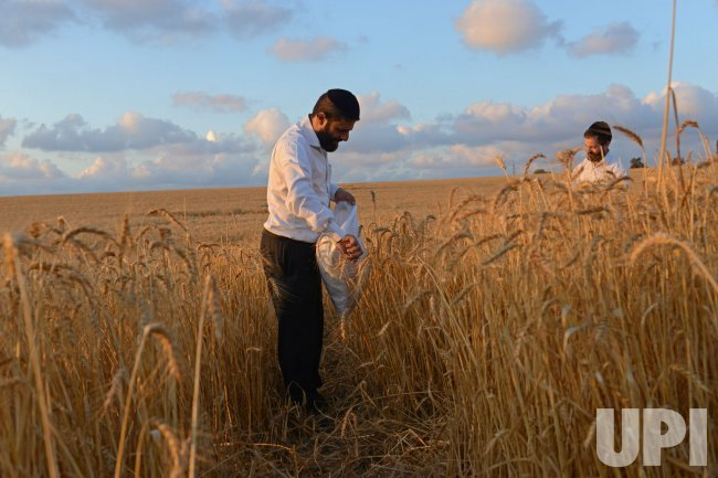 Ultra-Orthodox Jews Harvest Wheat In Israel