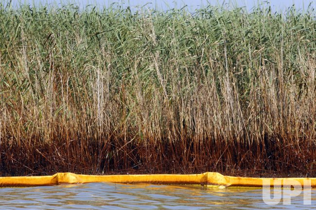 Oil stains marsh grass near Venice, Louisiana, from the BP Deepwater Horizon oil spill