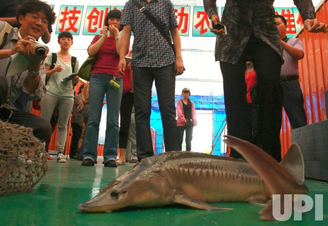 Journalists look at a farm-raised sturgeon in Fuyuan