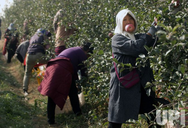 Women Pick Apples in an Orchard in Yantai, China