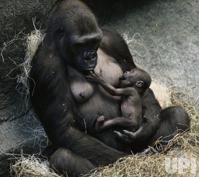 Gorilla Infant Nurses at Brookfield Zoo