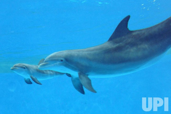 Baby Dolphin born at Brookfield Zoo in Brookfield, Illinois