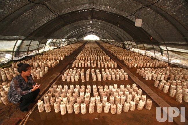 Mushrooms are grown on a farm in Fujin