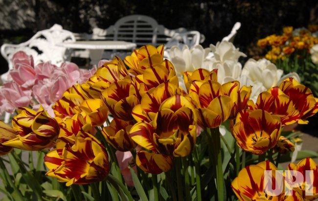 TULIPS BLOOM IN WHITE HOUSE ROSE GARDEN