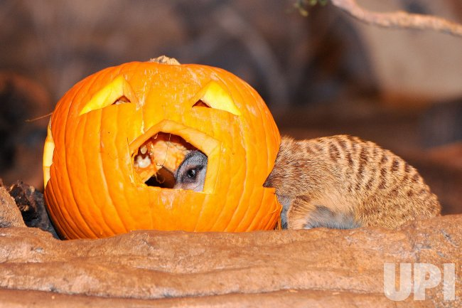 Animals Receive Pumpkins from Staff for Halloween at Brookfield Zoo