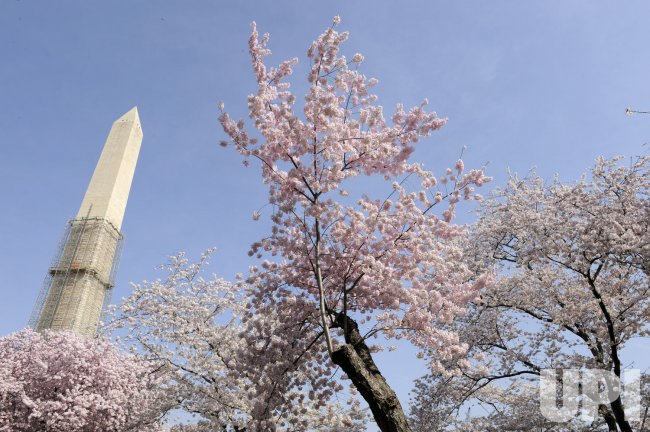 Annual flowering of the cherry blossoms in Washington, DC