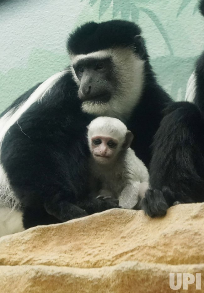 Female Money Born At Saint Louis Zoo