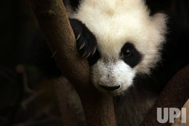 A panda struggles on a tree at a panda center in Chengdu, China