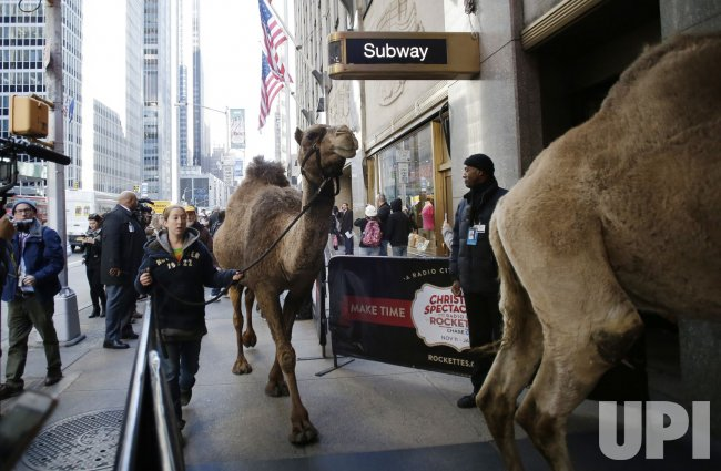 A camel is walked on 6th avenue