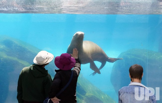Sea Lion Swims At Saint Louis Zoo
