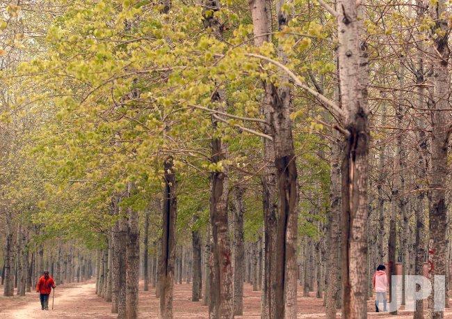 A Chinese man walks down a path through a tree barrier in Beijing