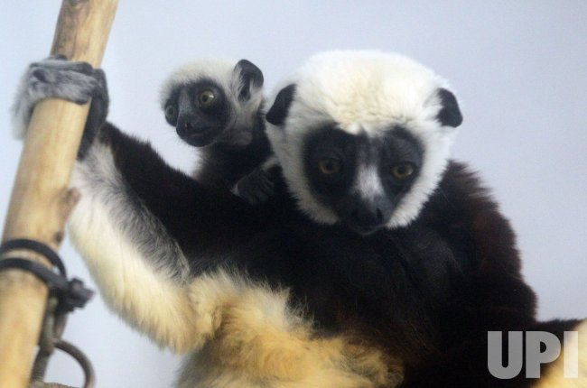 New baby Coquerel's sifaka born at Saint Louis Zoo